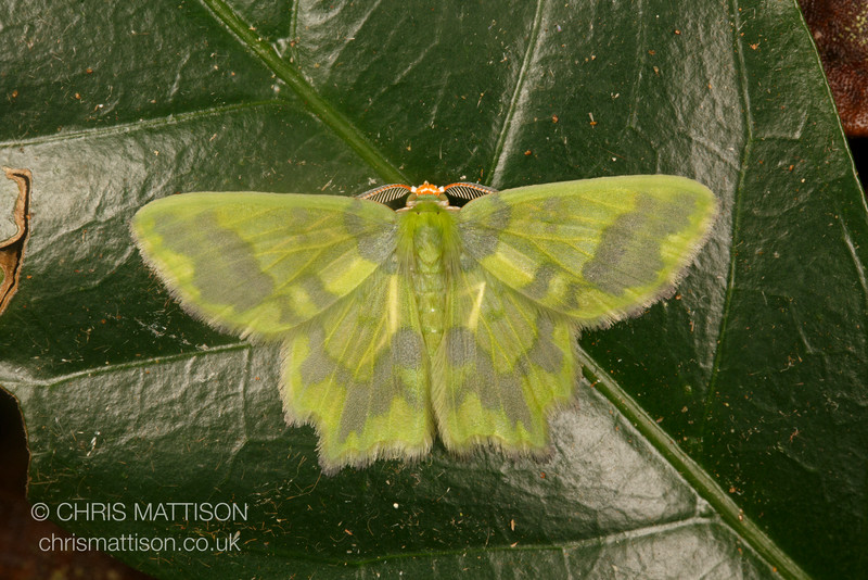 Green geometrid moth, Cartago Province, Costa Rica