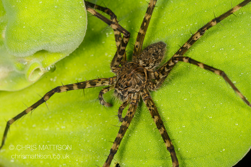 Huntsman spider, Osa Peninsula, Costa Rica.