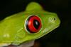 Red-eyed Leaf Frog, Agalychnis  callidryas, Costa Rica