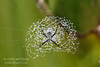 Orb-weaving spider, Argiope savignyi, building a circular stabilimentum, Osa Peninsula, Costa Rica