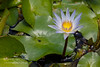 Blue Water Lily, Nymphaea stellata, Costa Rica