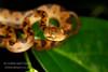 Cat-eyed Snake, Leptodeira septentrionalis, Osa Peninsula, Costa Rica