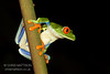 Red-eyed Leaf Frog, or Tree Frog, Agalychnis callidryas, El Arenal, Costa Rica