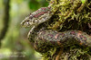 "Eyelash Pit Viper, Bothriechis schlegelii, green, or ""lichen"" phase.  Costa Rica. Family Viperidae, subfamily Crotalinae"