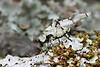 Lichen katydid, Lichenomorphus carlosmendesi, Costa Rica.