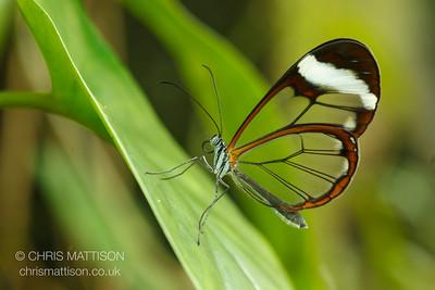 Glasswing butterfly, Greta oto, Costa Rica. Family  Nymphalidae.