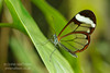 Glasswing butterfly, Greta oto, Costa Rica. Family  Nymphalidae.
