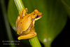 Hourglass treefrog, Hyla ebraccata, form with reduced markings, Oda Peninsula, Costa Rica