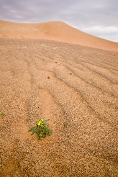 Desert flower, Arabian Desert near Al Ain, Dubai, UAE.