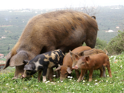 Pigs in paradise...