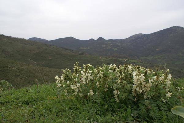 Astragalus lusitanicus ssp orientalis