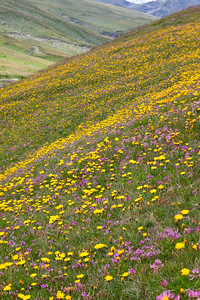 Alpine flowers, mainly hawksweed and clover, at about 2000 metres in the Italian Alps