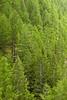 Norway spruce, Valsavarenche, Italian Alps