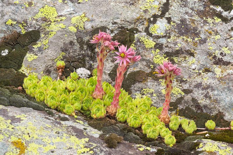 Mountain houseleek, Sempervivum montanum, Valgrisenche, Italian Alps