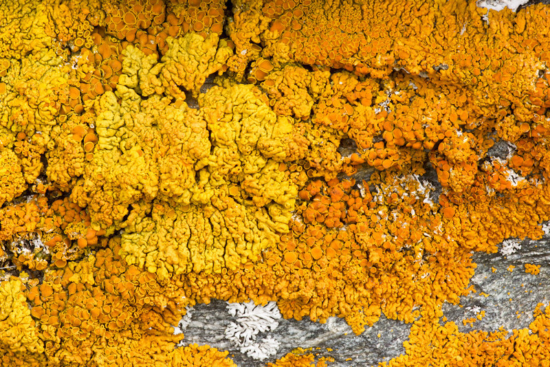 A crustose lichen, probably Xanthoria species, Valgrisenche, Italian Alps.