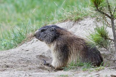 Marmot, Marmota marmota, Italian Alps