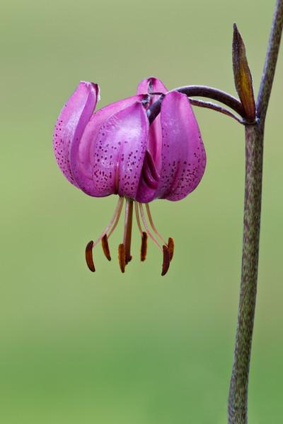 Martagon lily, Lilium martagon, Valsavarenche, Italian Alps, Italy