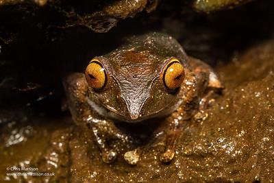 Bright-eyed Frog, Boophis sp, aff. boehmi, Ranomafana National Park Madagascar.