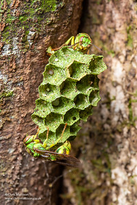Green Wasp, Ropalidia sp., guarding nest, Mantadia National Park, Madagascar.