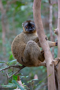 Common Brown Lemur, Eulemur fulvus, Vakona Forest Reserve, Madagascar