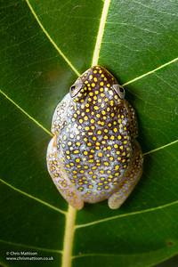 White-spotted Reed Frog, Heterixalus alboguttatus, Ranomafana National Park, Madagascar. Family Hyperoliidae.