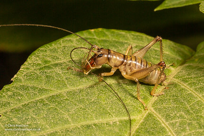 King cricket, species unknown, Andasibe, Madagascar. family Anostostomatidae.