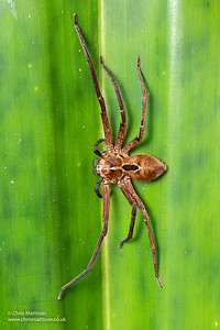 Huntsman spider, species unknown, Ranomafana National Park, Madagascar. Family: Sparassidae
