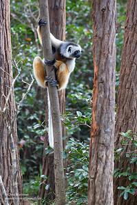 Diadem Sifaka, Propithecus diadema, Vakona Forest Reserve, Andasibe/Perinet, Madagascar