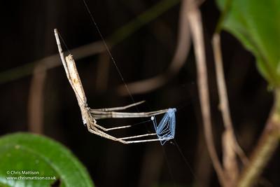 Net-casting spider, Deinopis sp) Ranomafana, Madagascar