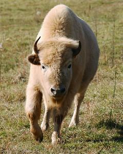 Buffalo II