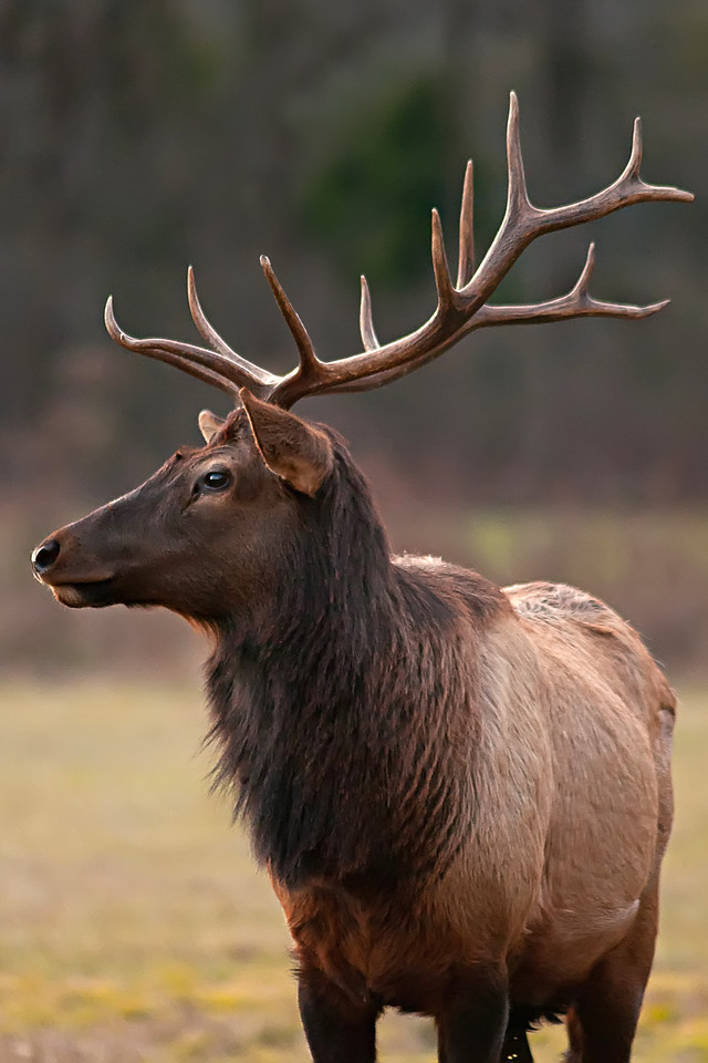 Dec 24th,  Tried to get on the Blue Ridge Parkway for a nice sunset, but the road was gated off.  I wasn't a waste of a trip though.  Ran up the road another mile and found the Elk out feeding.  This guy continued past the car and got to the point where we were to close to get anything in frame except his face.