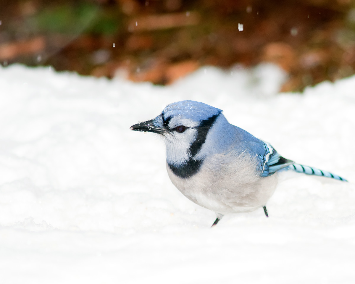 Dec 25th,  It snowed all day today.  It was not the greatest conditions to shoot in, but sometimes you have to get out in the bad, to get some good.  After getting covered in snow, wet, and cold, I ended the day with some of my best bird photos to date.