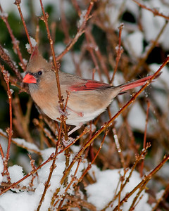 Dec 25th,  Several real nice bird photos today.  I had to look a little crazy with the snow coming down, a 300mm, and a flash on the D300S.  It was worth it!!!