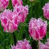 YosyaPhotography_Keukenhof_AMS-7523
