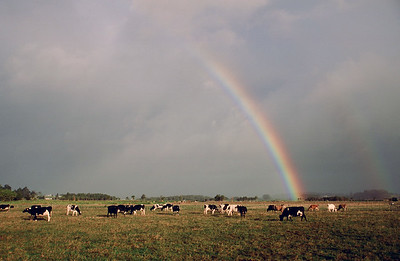 Rainbow and cows, North Island