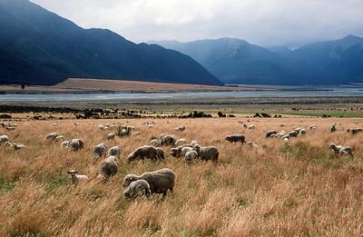 Sheep, Waimakariri River Valley, Arthur's Pass, South Island