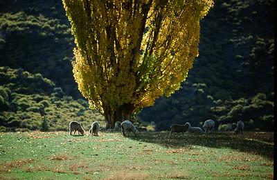 Sheep near Queenstown, South Island