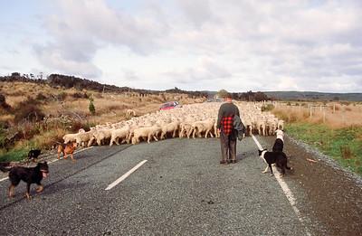 Sheep on Milford Sound Road, South Island