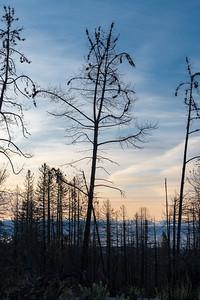 Knobcone pines (Pine Ridge, Santa Cruz)