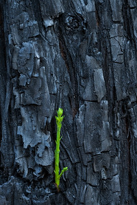 Coastal redwoods display their resilience by sprouting fresh shoots from otherwise black trunks (Gazos Creek, Pescadero)
