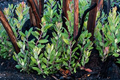 Fresh sprouts among charred manzanita trunks (Pine Ridge, Santa Cruz)