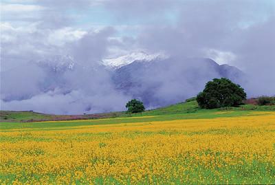Upper Ojai mustard field