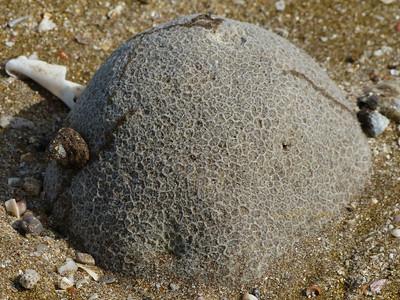 Azaiba beach coral