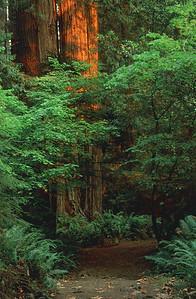 James Irvine Trail, Prairie Creek Redwoods State Park
