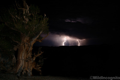 Bristlecone Pine and Lightening White Mountains