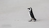 African Penguin, Spheniscus demersus, Boulders Beach, Cape Town, South Africa,