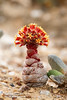 Crassula columnaris, subspecies prolifera, a leaf succulent from Namaqualand, South Africa.