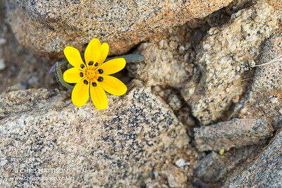 Daisy, Botterblom (Afrikaans), Gazania lichtensteinii, Kamieskroon, Western Cape, South Africa.
