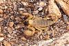 Death Stalker scorpion, Leiurus quinquestriatus, Springbok, South Africa