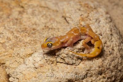 Austen's gecko, Pachydactylus austeni, Port Nolloth, South Africa